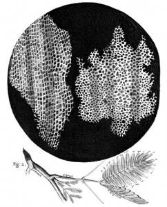 Cork drawing by Robert Hooke